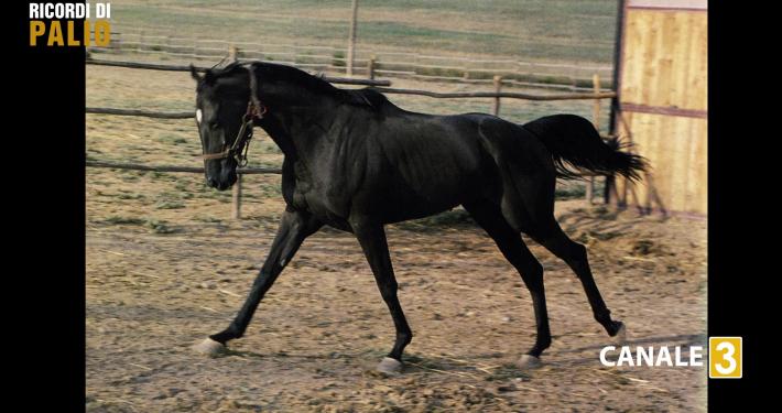 Benito III il cavallo vittorioso allo storico Palio del 2 luglio 1983 per la Contrada del Leocorno